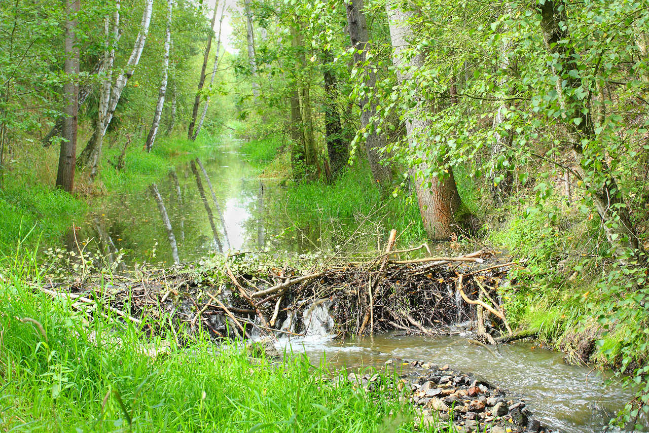 A beaver's dam - representing blockages in your business cash flow